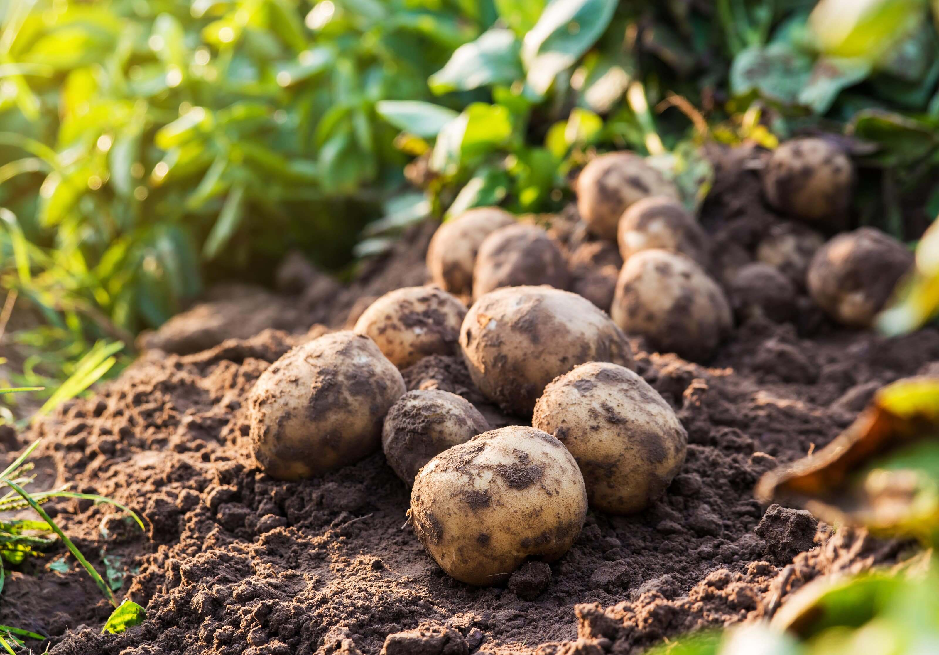Westhoeve Potatoes aardappels in het veld