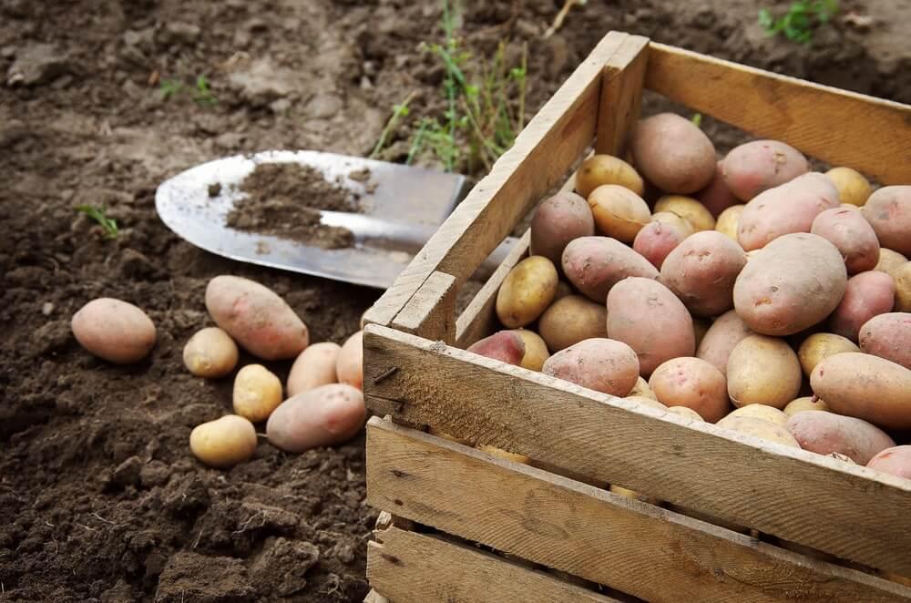 aardappels in kistje