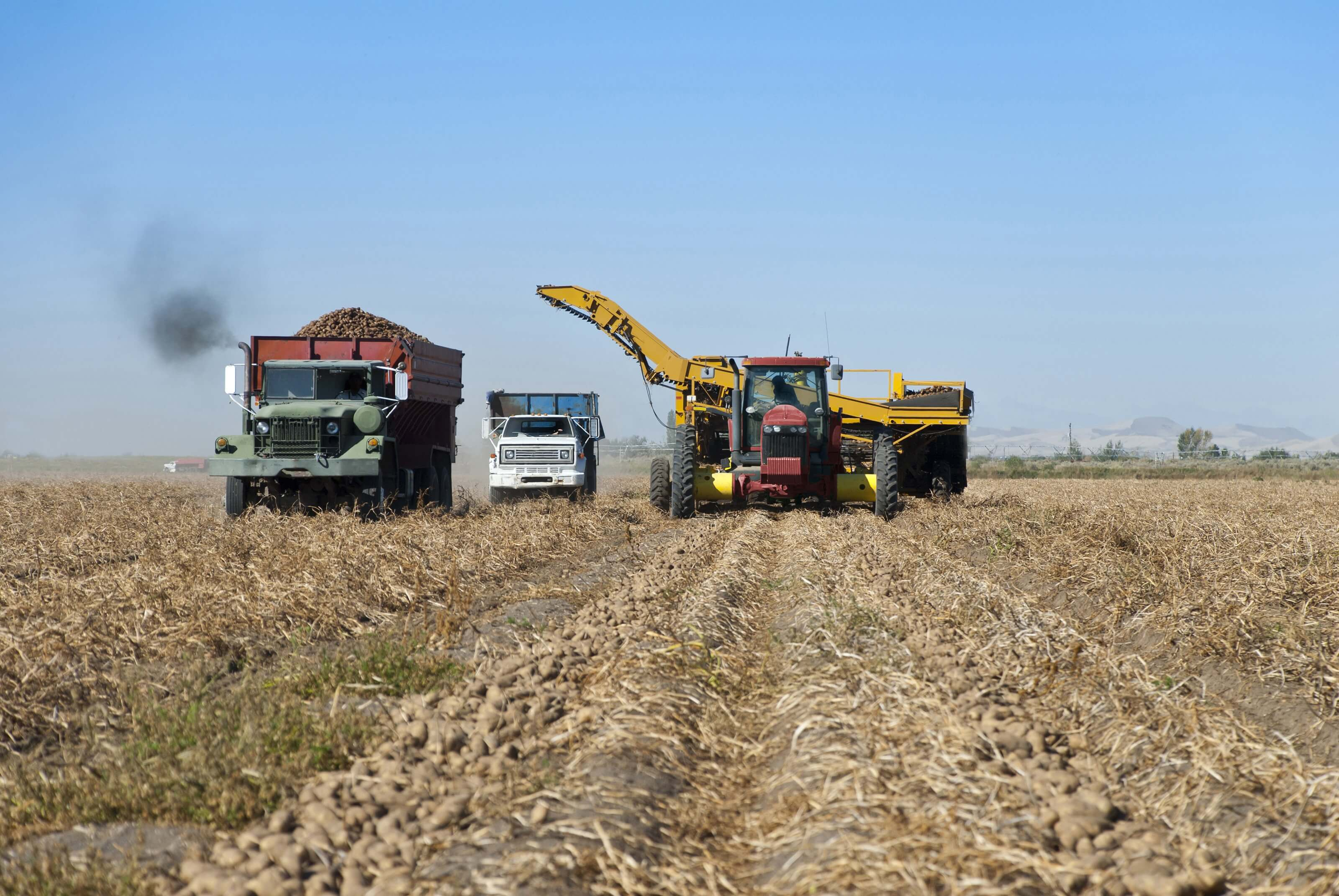Aardappelen oogsten