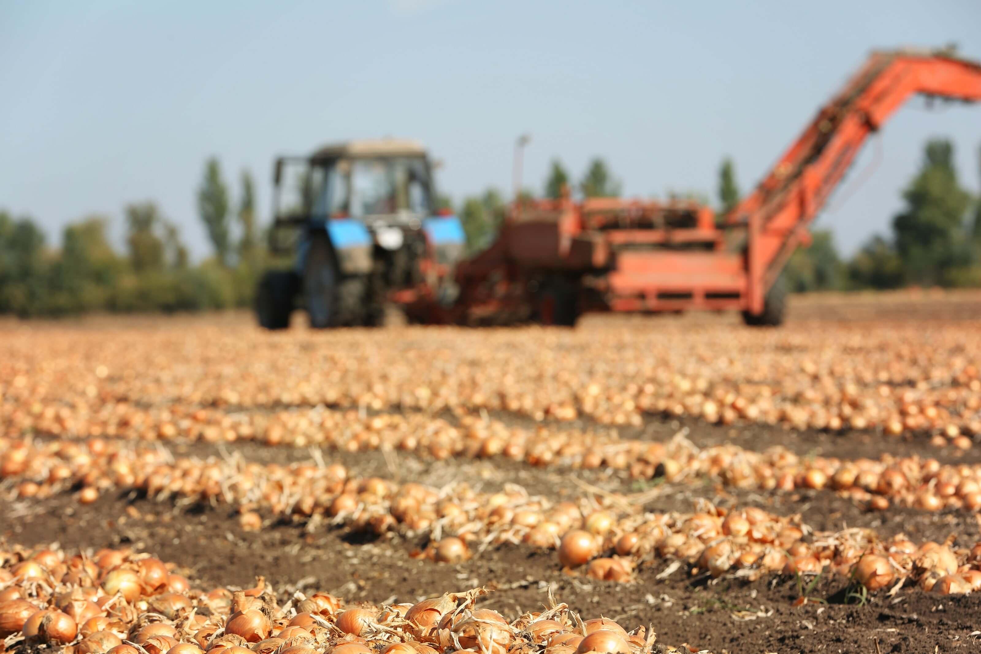 Westhoeve Potatoes uien oogsten met tractor