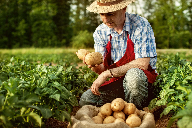 Aardappelboer in aardappelveld