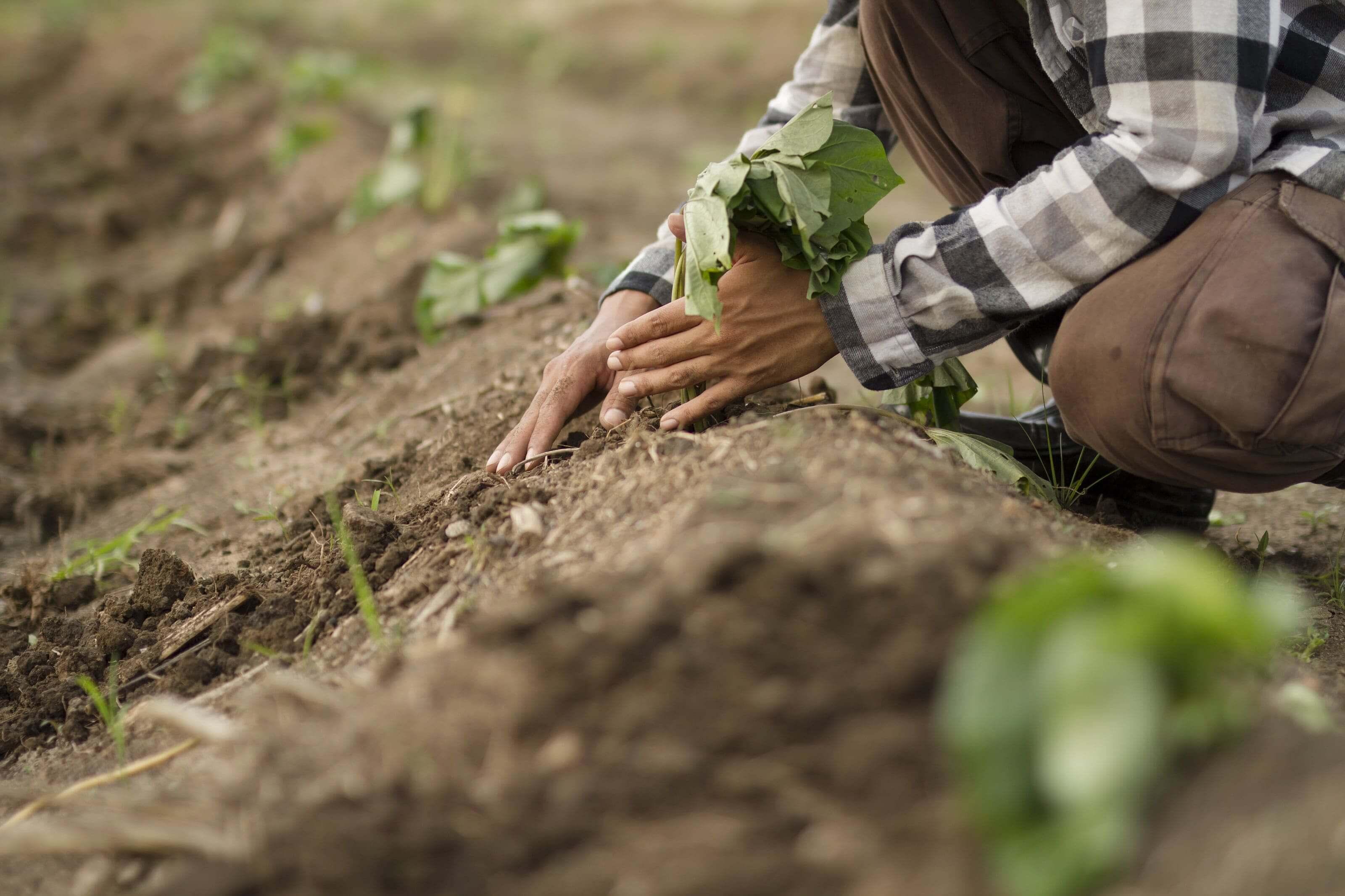 Aardappel met blad in de grond