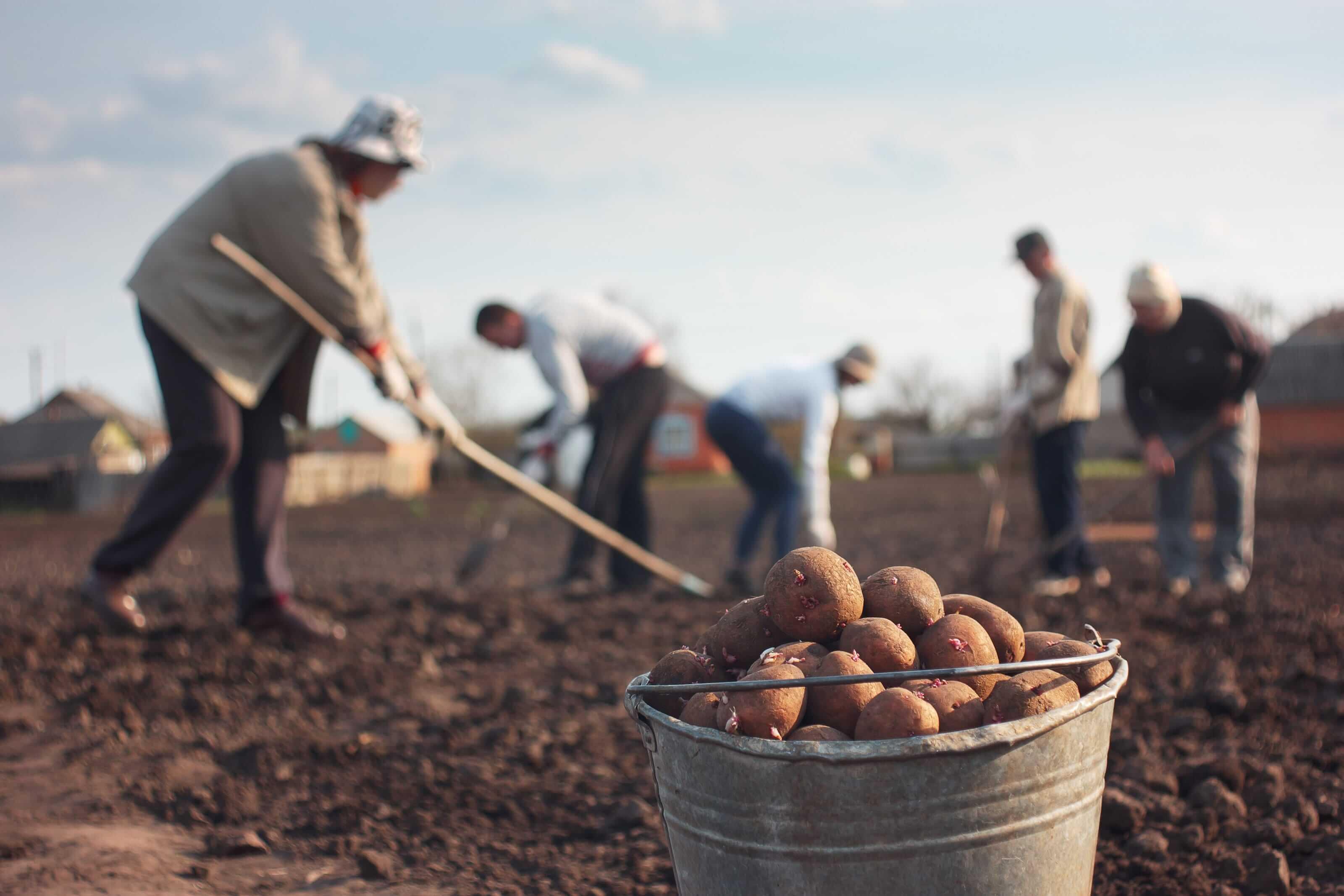 Aardappelteelt boeren
